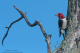 Red-Headed Woodpecker on favorite tree