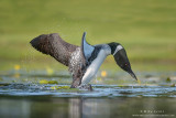 Loon attacks a Grebe