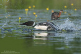 Common Loon chases Red-Necked Grebe