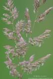 Purple grasses against greens