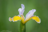 Purple and gold Iris