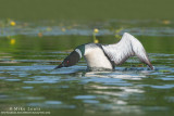 Loon rears up to attack Red necked Grebe