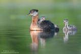 Red-necked Grebe family relaxed