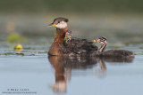 Red-Necked Grebe family blues and greens