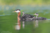 Red necked Grebes and babies in yellow