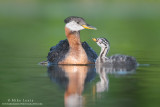 Red necked Grebe adoration of parent