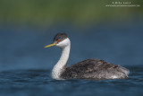 Western Grebe portrait blues and greens