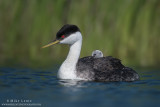 Western Grebe with rider by green reeds