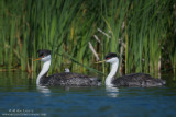 Western Grebe full family in reeds