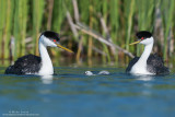 Western Grebes with baby in middle swimming