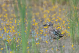 Blue-winged teal in yellow swamp flowers
