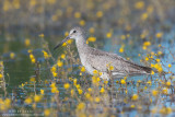 Willet in yellows in marsh