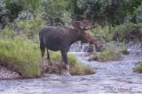 Moose bull in running water