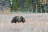 Grizzly bear strolls across meadow