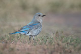 Mountain Bluebird on Grass