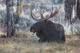 Moose Bull laying down