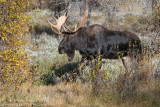 Moose bull struts in fall color