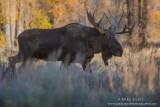 Moose eyeing me