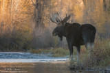 Moose stares back downstream