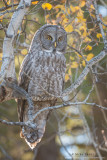 Great Gray Owl in Aspen backlit