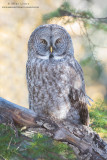 Great Gray Owl autumn scene