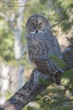 Great Gray owl camoflauged