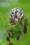 Boreal Owl verticle on pines