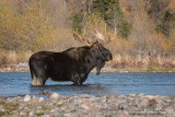 Moose bull in the river