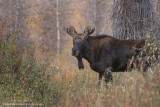 Young Moose in brush
