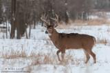 Whitetailed deer posed in winter scene