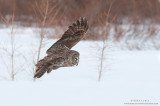 Great Gray Owl flight across Winter Willows