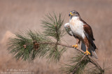 Ferruginous Hawk on roadside pine