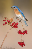 Bluebird on red berries verticle