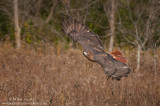 Red-tailed hawk wings up fly by