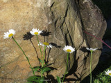 Marguerite et son ombre - Daisy and its shadow