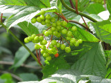 Viorne trilobée (Pimbina) - High bush Cranberry