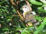 Paruline flamboyante - juv - American Redstart