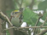 Paruline à flancs marrons - Chestnut-sided warbler