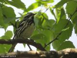 Paruline noir et blanc - Black and white Warbler