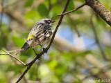 Paruline à croupion jaune - Yellow-rumped Warbler