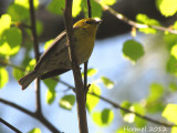 Paruline des pins - Pine Warbler