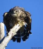 Faucon émérillon - 2013 - Merlin