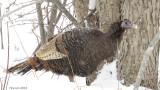 Dindon sauvage - Wild Turkey