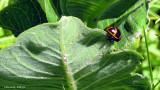 Chrysomèle de l'asclépidade - milkweed labidomera