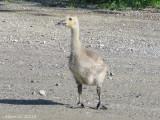 Bernache du Canada , (orphelin)- Canada Goose (orphan)