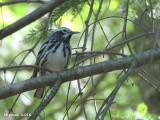 Paruline noire et blanc - Black and white Warbler