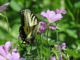 Papillon tigré du Canada - #4176- Papilio canadensis - Canadian tiger swallowtail