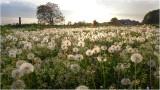 100.000 Pissebloemen