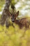 Roe deer - Reebok