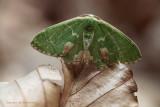 Gevlekte zomervlinder